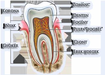 Gyökér - Nyak - Korona - Erek és idegek - Csont - Pulpa - Fogíny - Dentin - Zománc